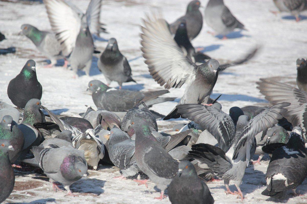 Танец голубей
