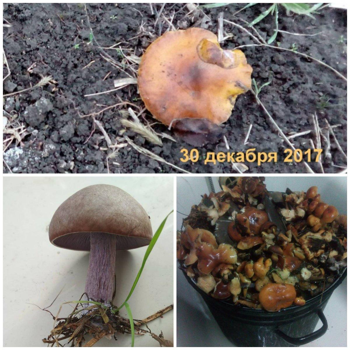 Из-за теплой зимы в пригороде Никополя собирают грибы