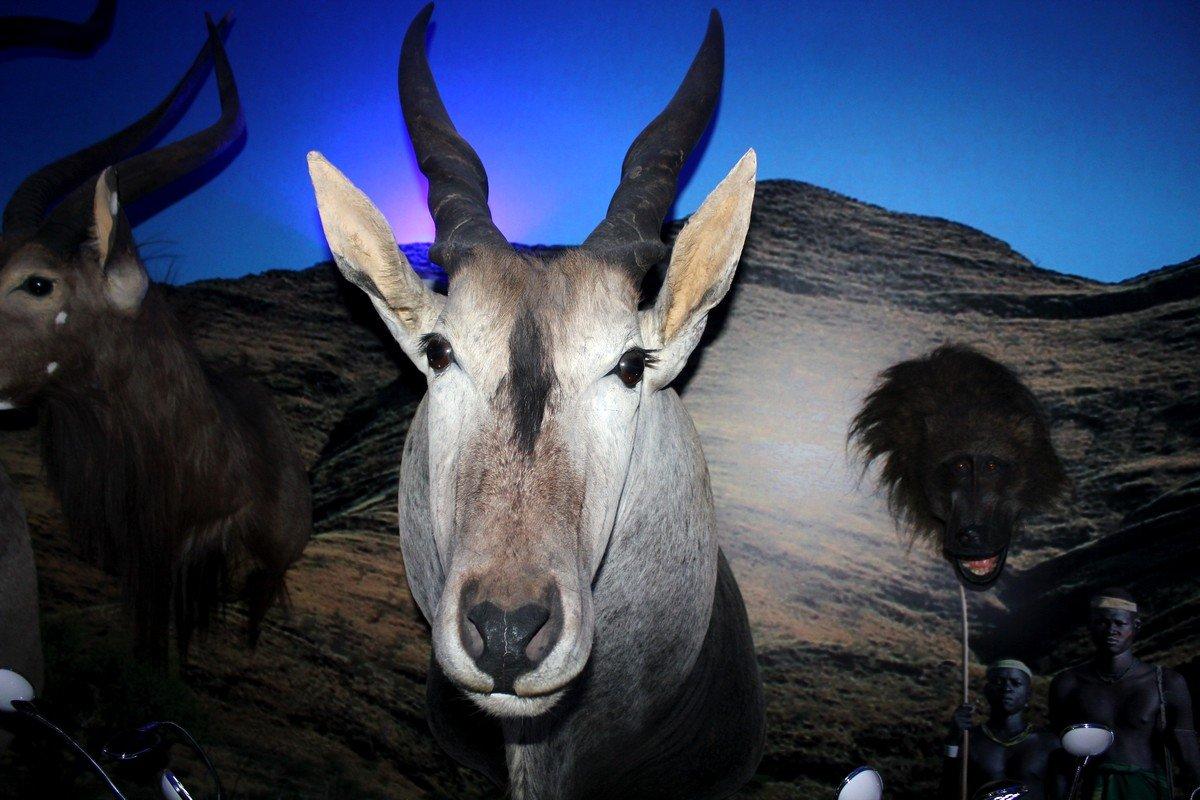 Выставка охотничьих трофеев в музеепередает «дух» дикого животного мира