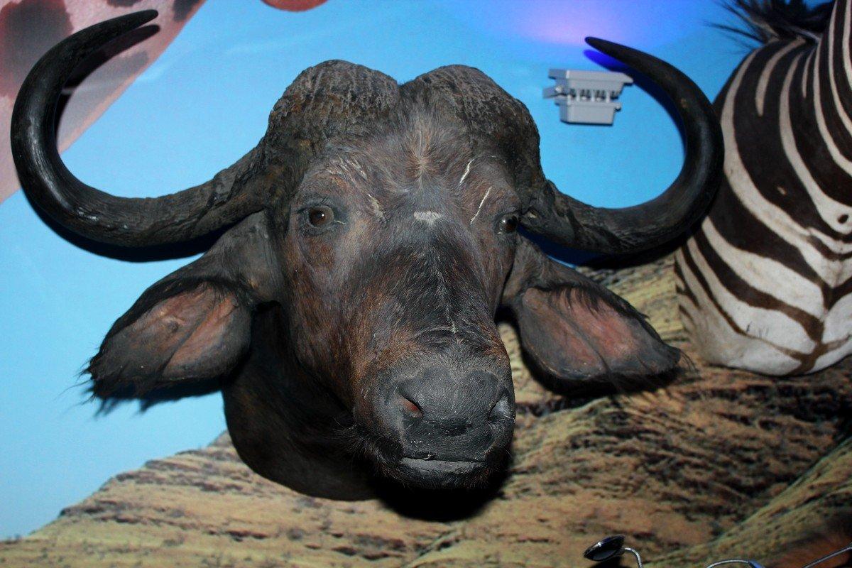 Черный буйвол