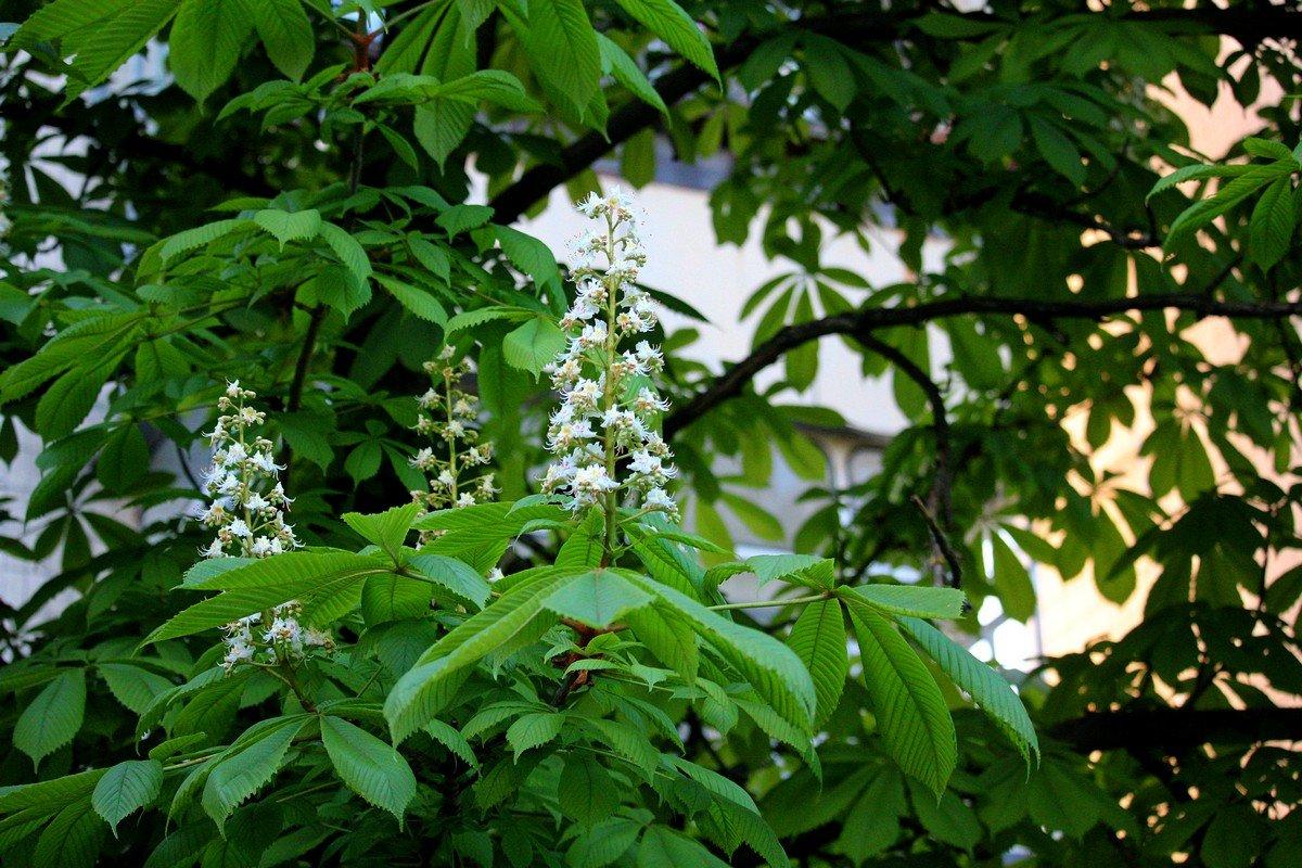 """""""Белые гроздья, как белые свечи"""""""