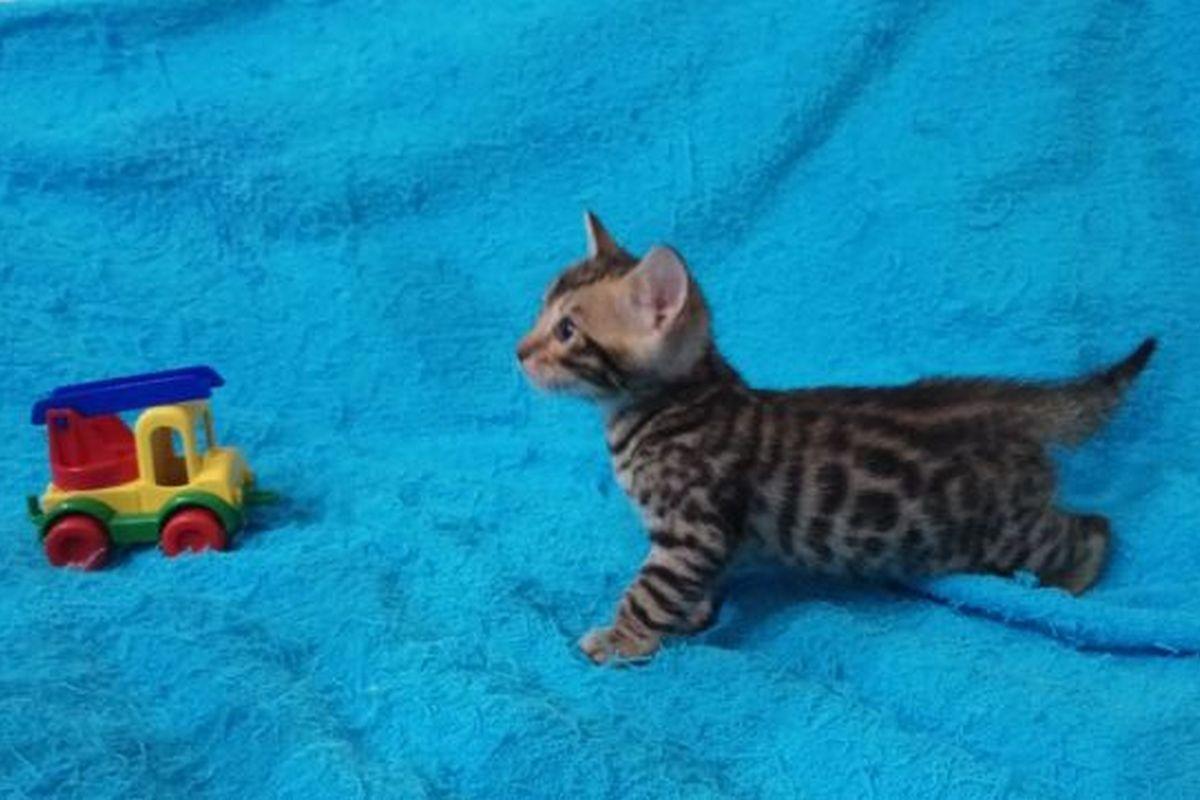 """Котята бенгальской породы с очень ярко выраженной """"розеткой"""". Со всеми документами"""