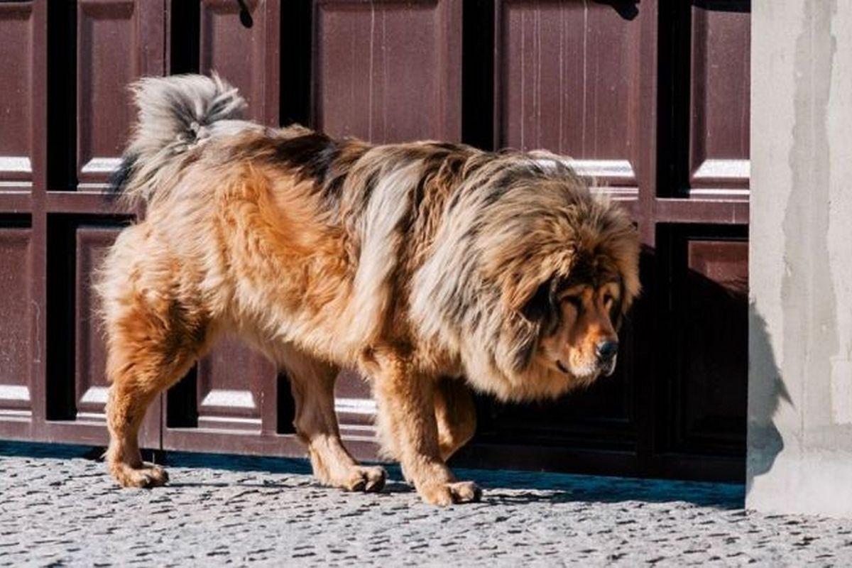 Мальчик тибетского мастифа от титулованых родителей, в львином типе. Плановые вакцинации, чип, документы КСУ