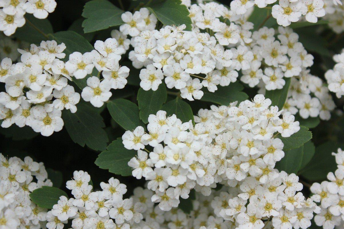 Кустарник усыпанный белыми цветами