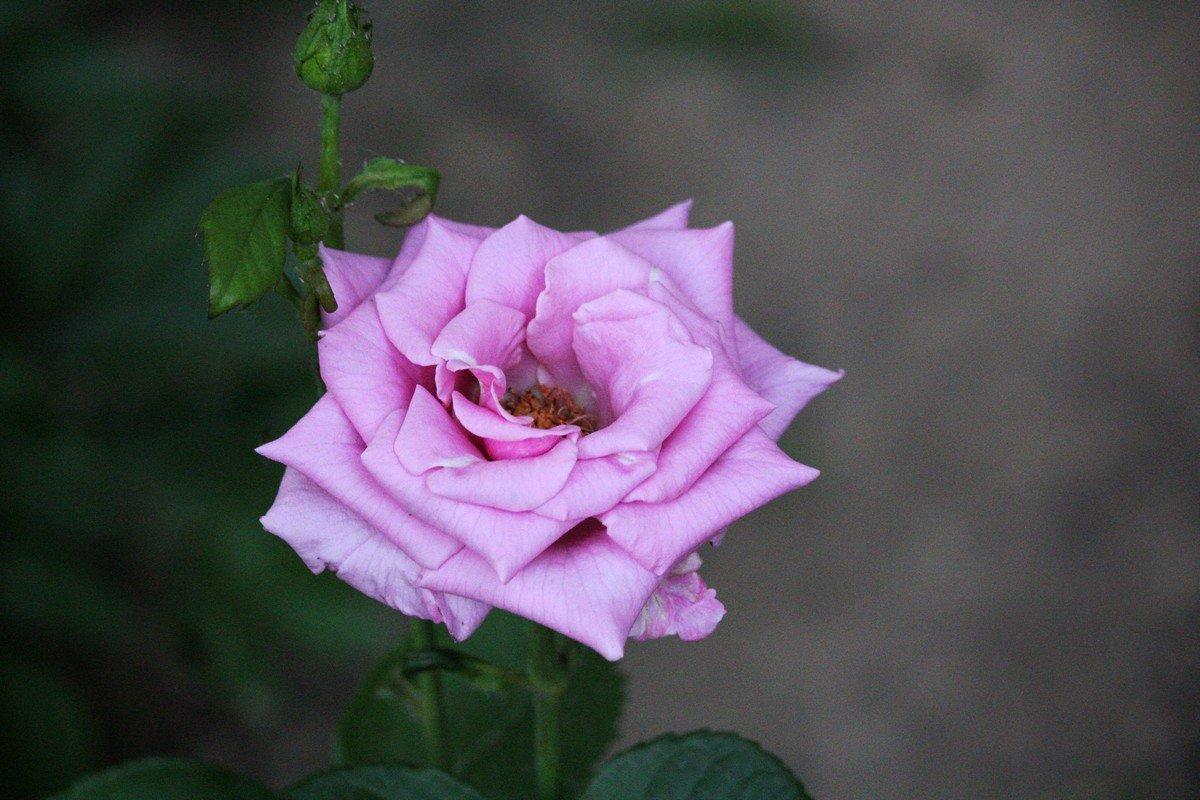 В Никополе цветут розы