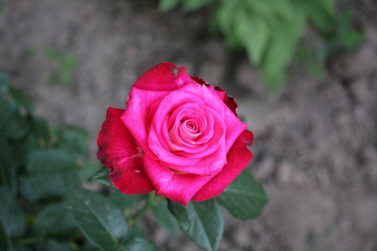 Розой украшают палисадники во дворах домов и центр города