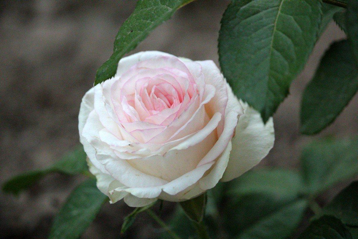 Этот цветок любим у многих народов мира на протяжении тысячелетий
