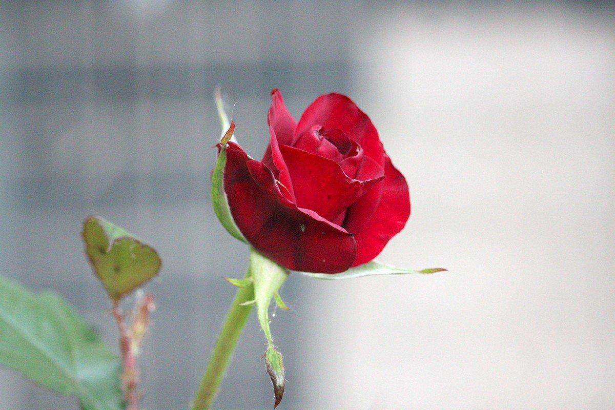 Июньские розы