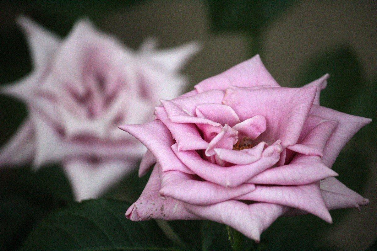 Необычная сиреневая роза