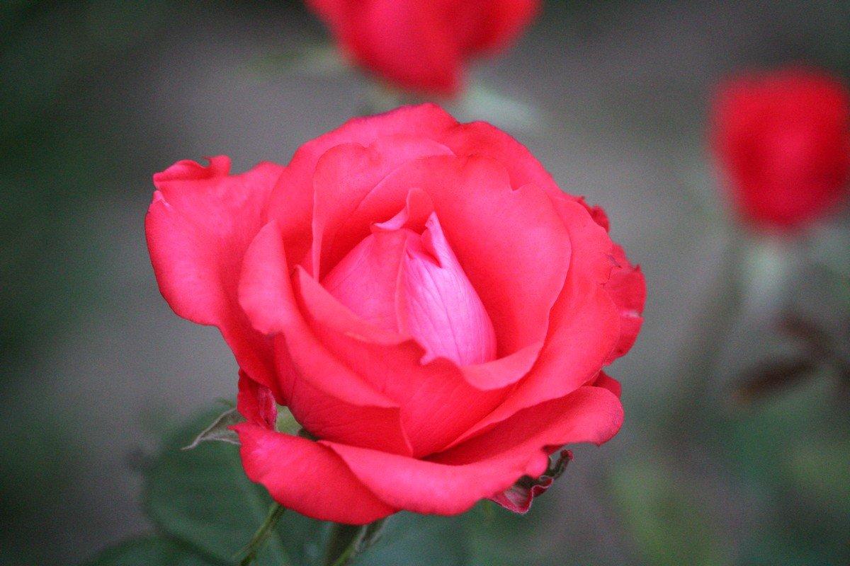 Такие розы цветут на улице Виктора Усова