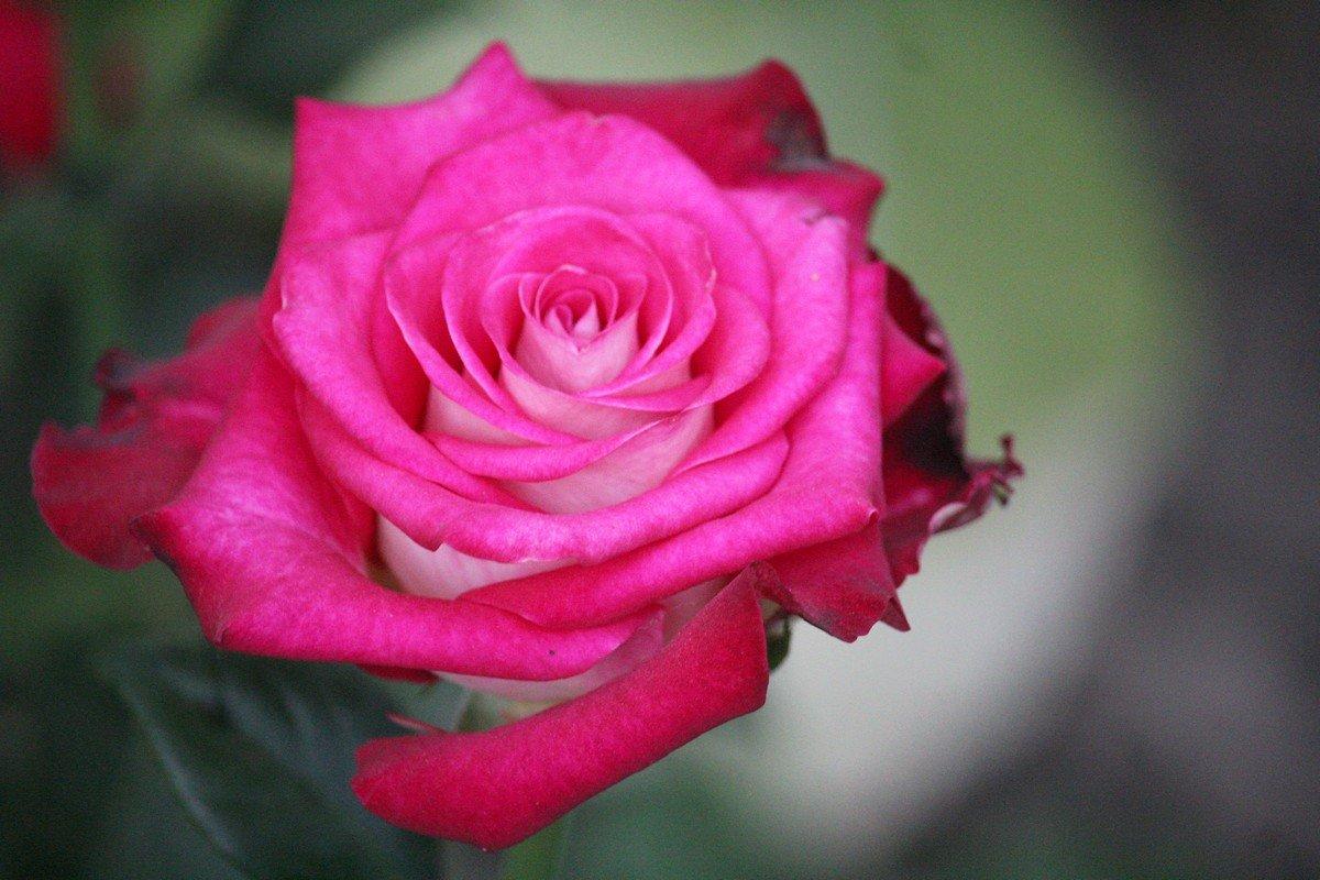 Около 5 000 лет люди высаживают в своих садах розы