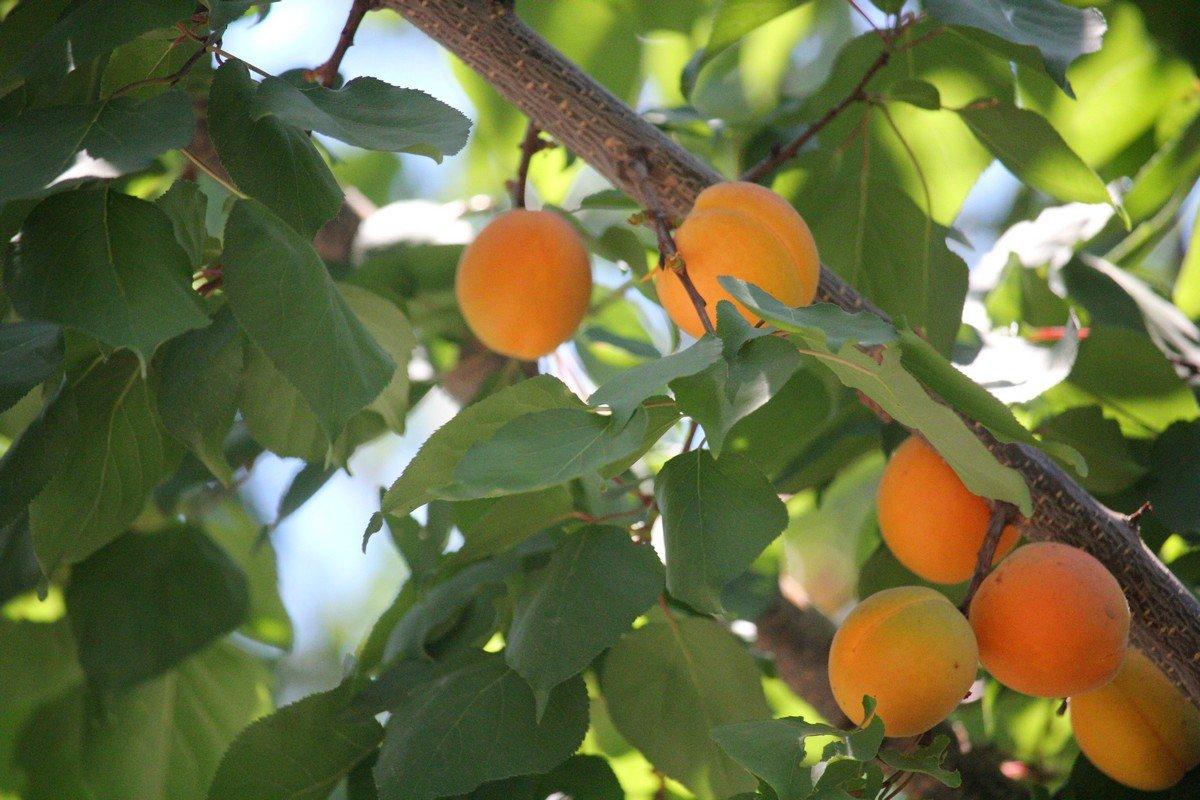 Спелый фрукт