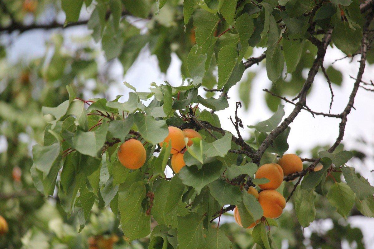 Ранние плоды
