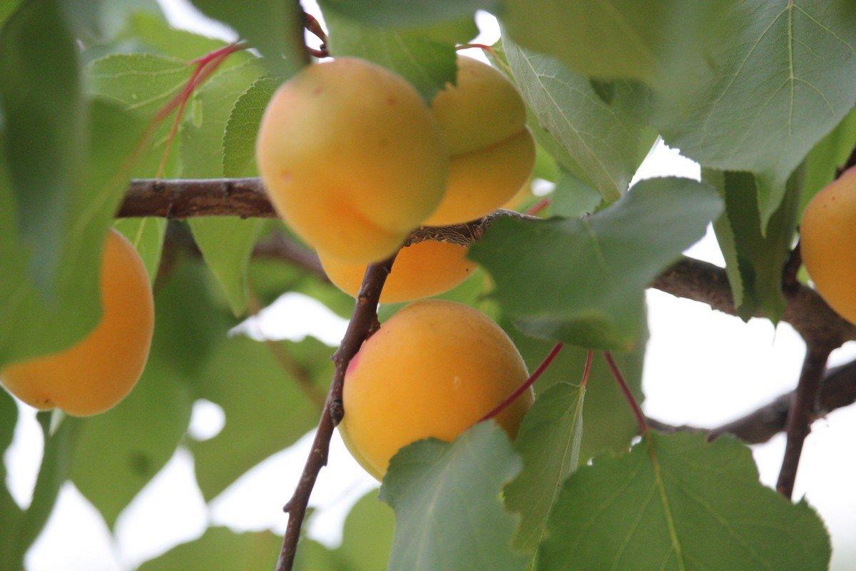 В этом году урожай абрикос