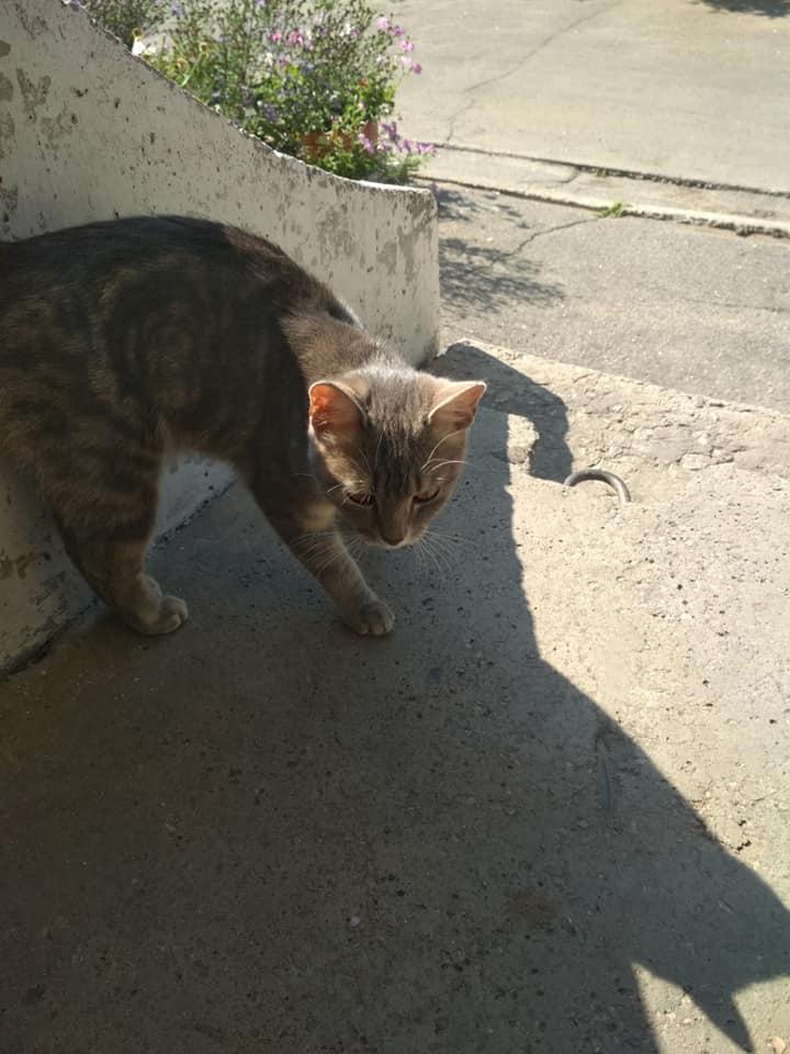 Кот домашний, породистый