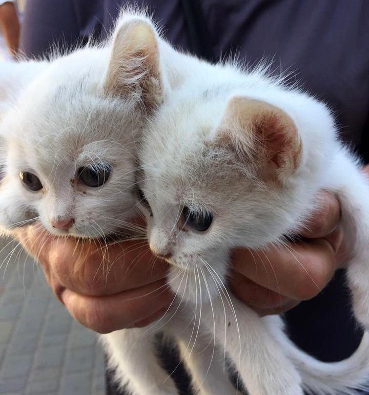 Белые кошки приносят гармонию в семейные отношения