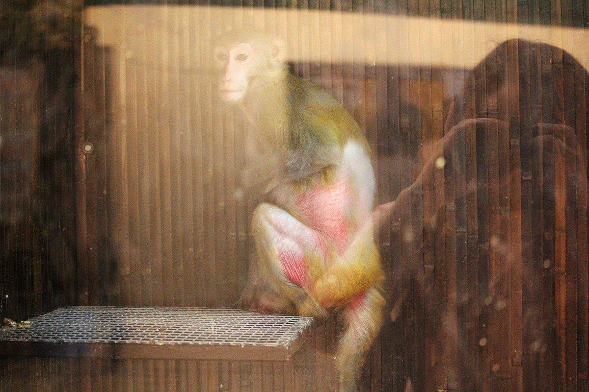 Эта обезьянка проходит лечение