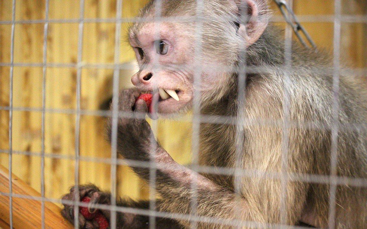 Малина - любимая еда мини-обезьянок