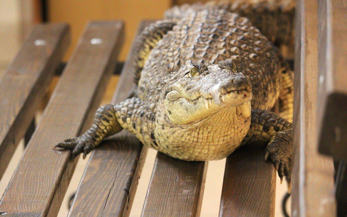 У крокодила обеденный сон