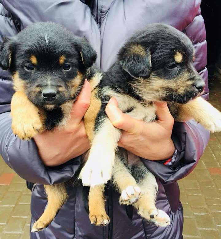 Два щеночка - два комочка счастья и ласки