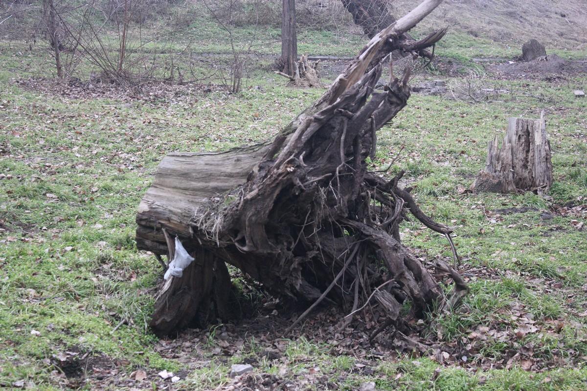 Корень многолетнего дерева