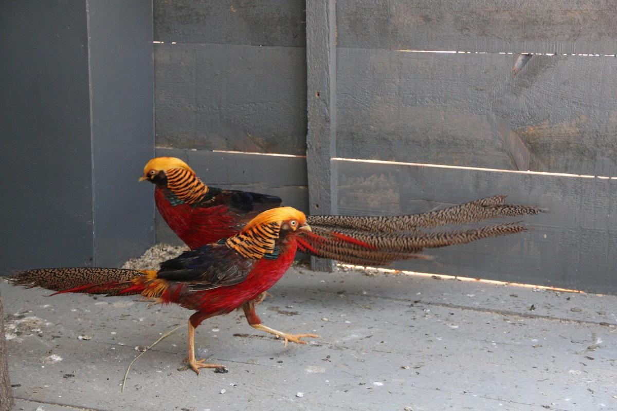Золотые фазаны - самцы