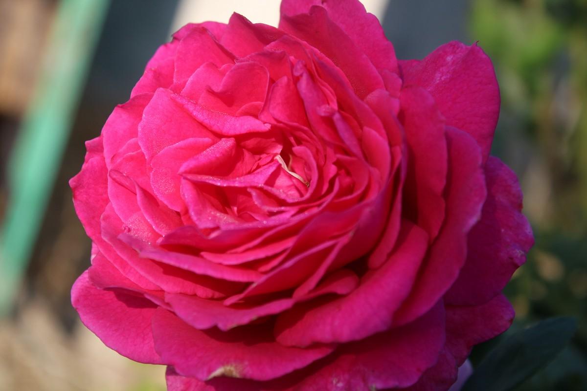 Роза всегда актуальна, хоть и цветет скромнее, чем в июне