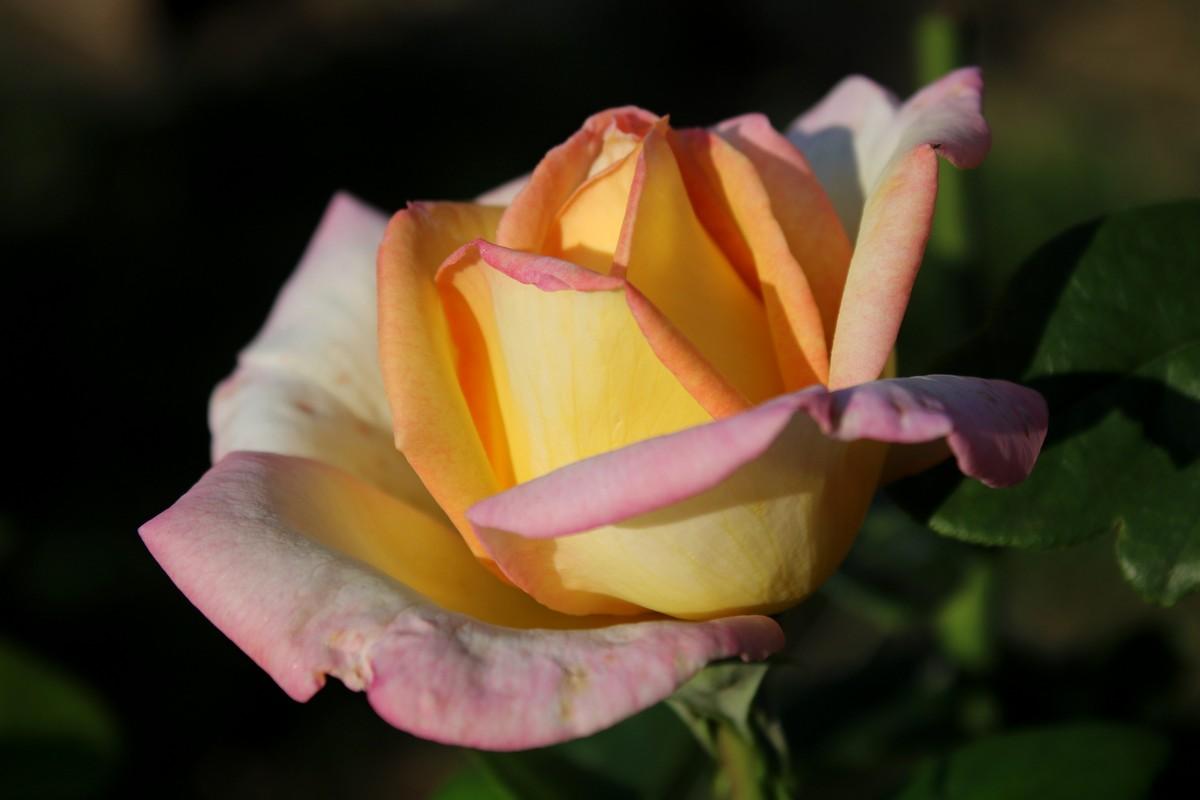 Ароматная роза - королева сада