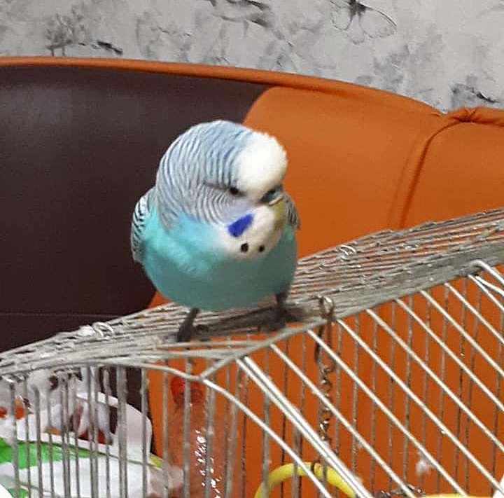 В Никополе нашли волнистого попугая