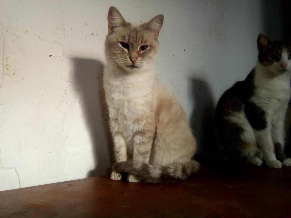 Бусинка - голубенькая сиамская кошечка с синими глазами