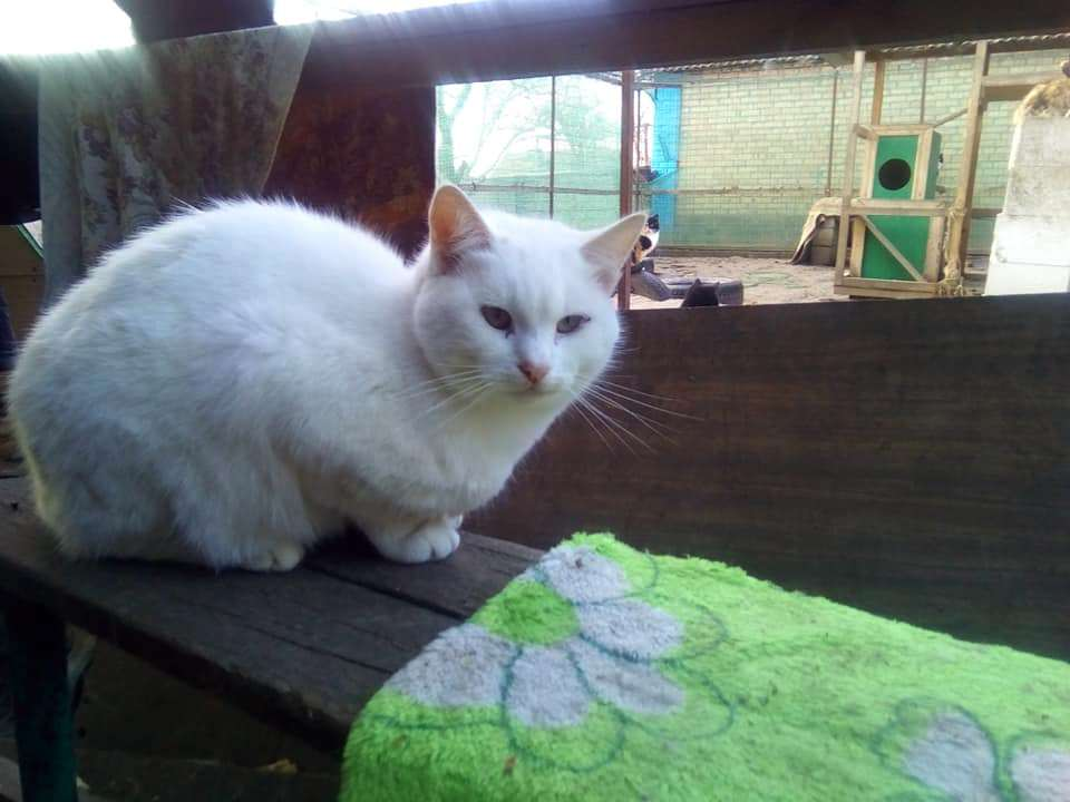 Фрэнки - очень большой и спокойный кот