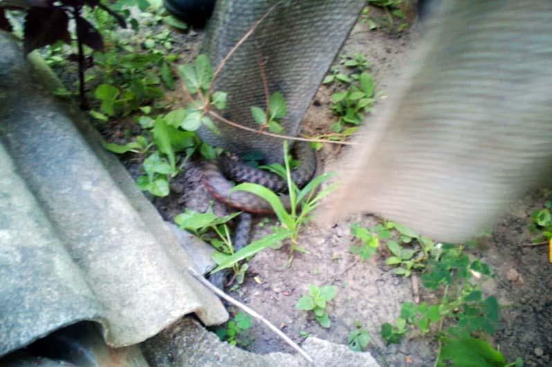 Жители улицы Красносельской в своем дворе обнаружили змею