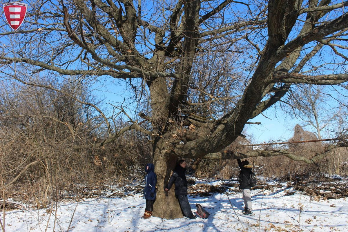 Старый дуб в Марганце