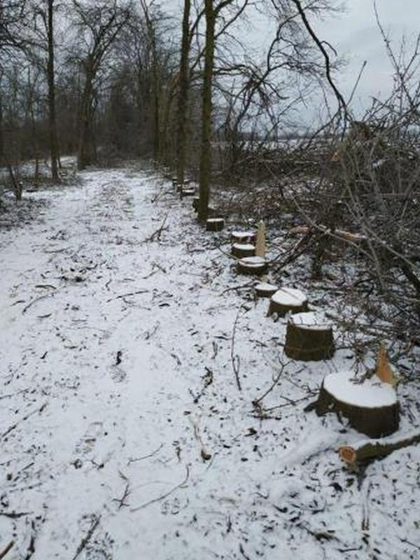 В полезащитной лесополосе вблизи села Дмитровка преступная группировка занималась незаконной вырубкой деревьев