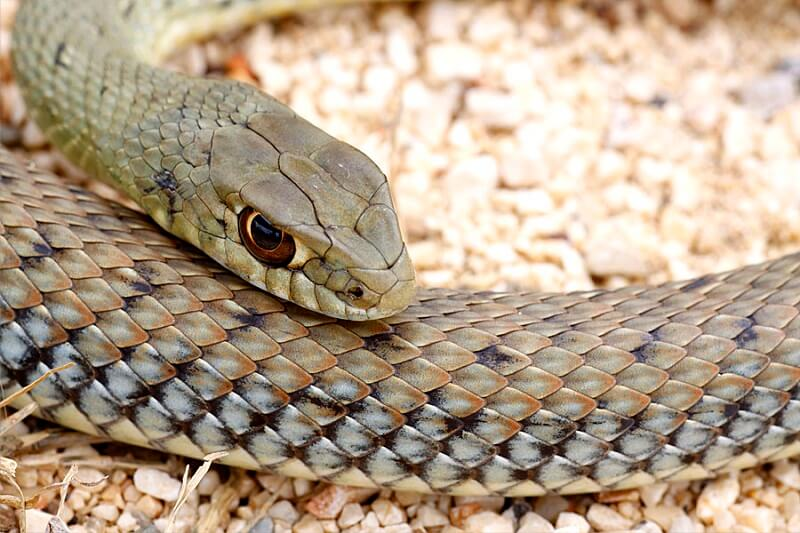 Ящеричная змея