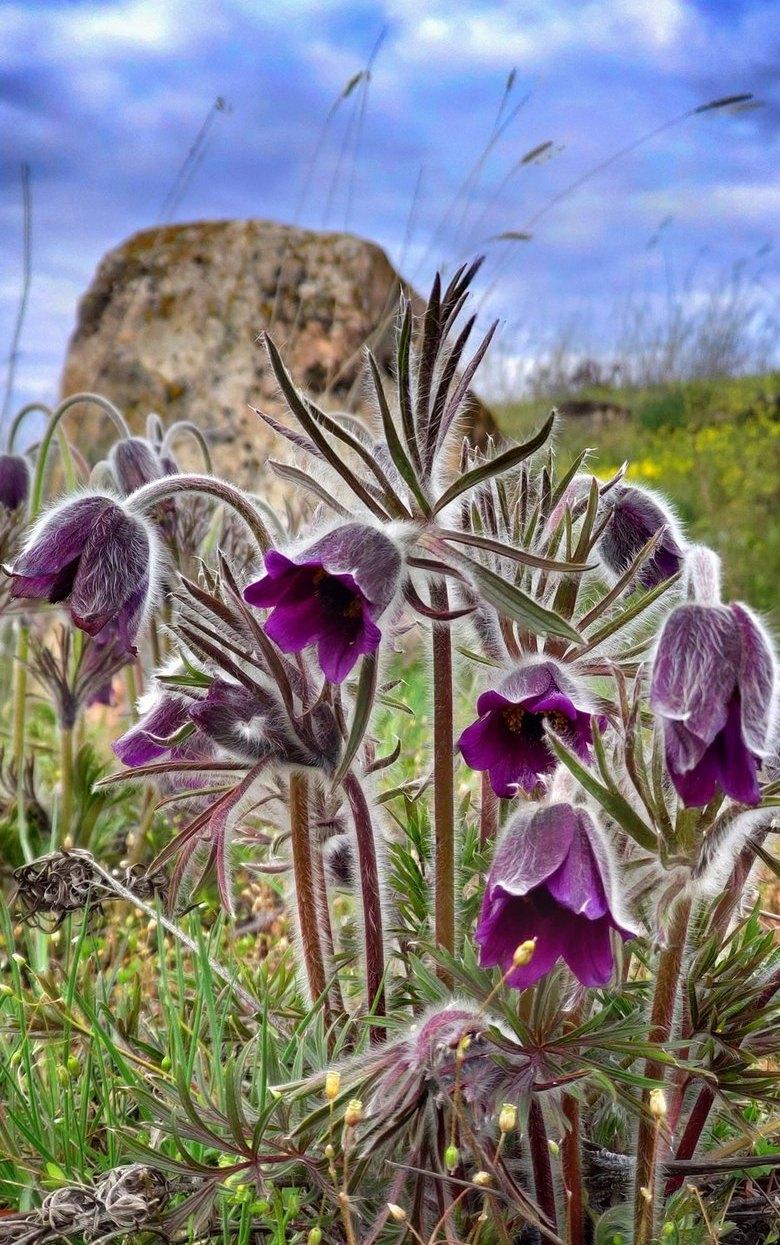 Цветок занесен в Красную книгу Украины