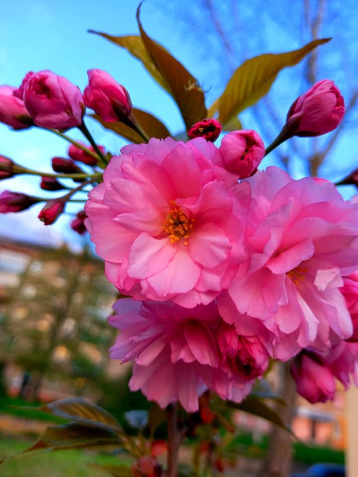 Оптимальной температурой дляцветения японской вишни является плюс 18 °C