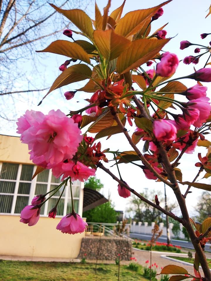 В Марганце цветут деревья сакуры