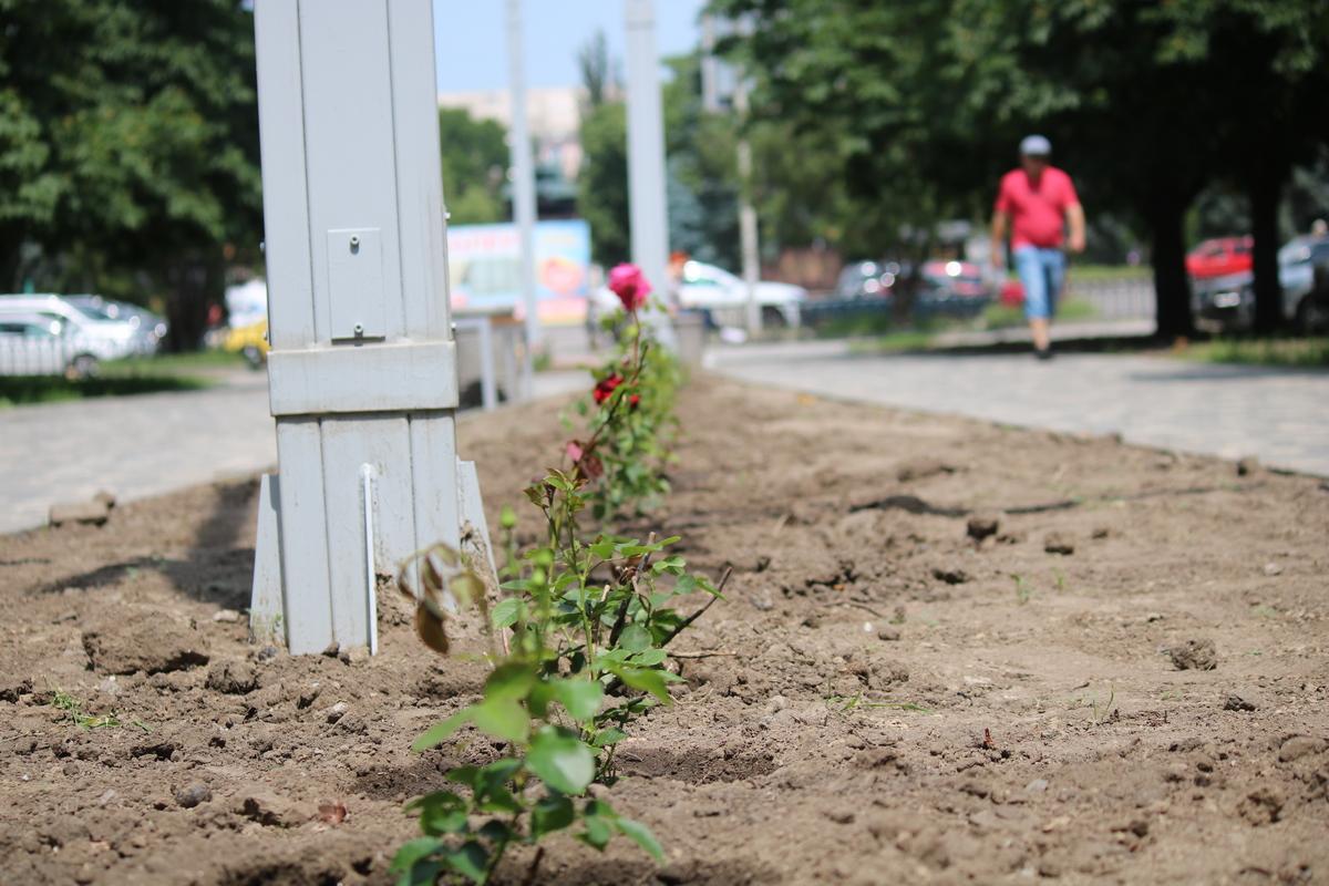 Около 300 кустов роз высадили в Никополе на аллее по улице Каштановой, фото-5