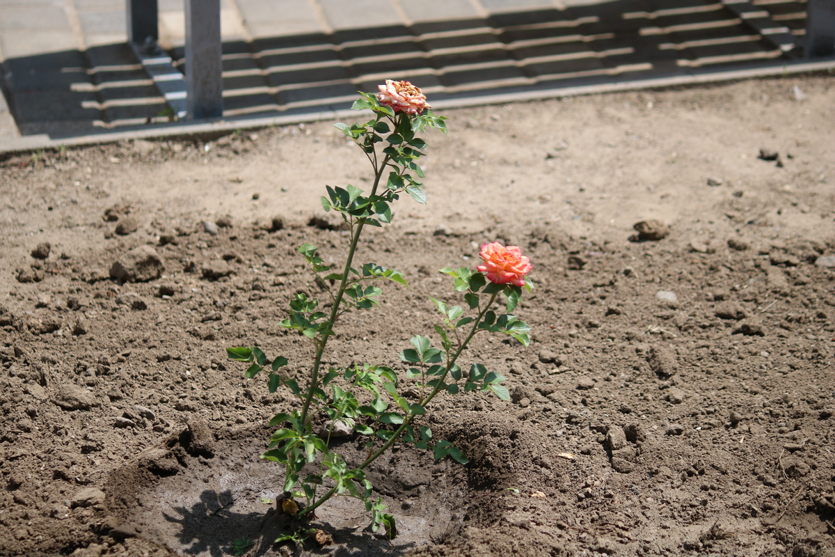 Аллея на улице Каштановой зацветет разноцветными розами