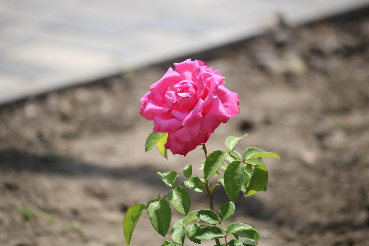 Высаживают розы разного цвета