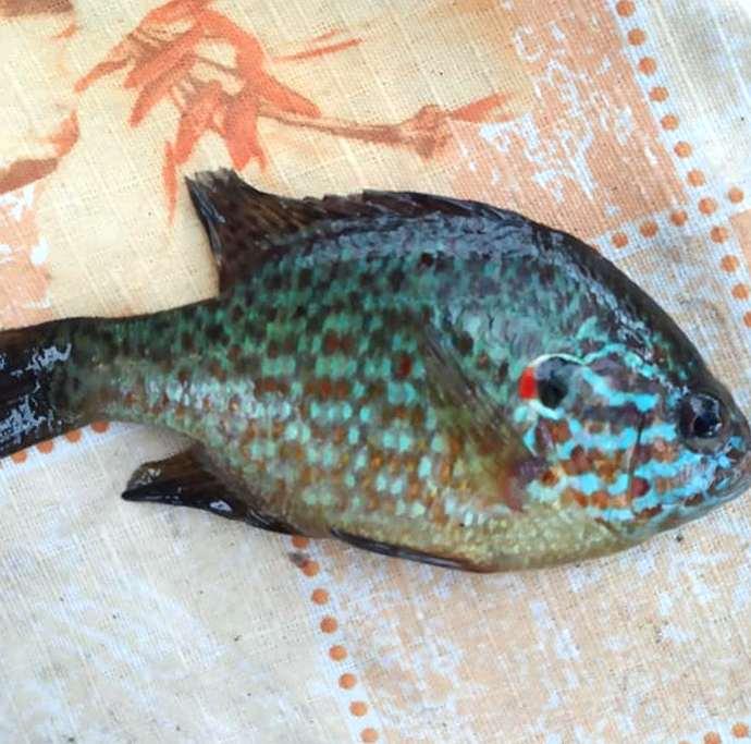 Вот такая рыбка попалась на крючок рыбачке из Никополя